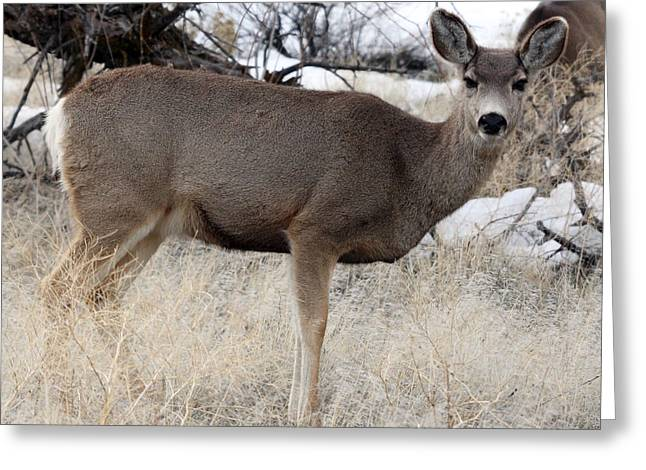 Grazing Snow Greeting Cards - Mule Deer - 0013 Greeting Card by S and S Photo