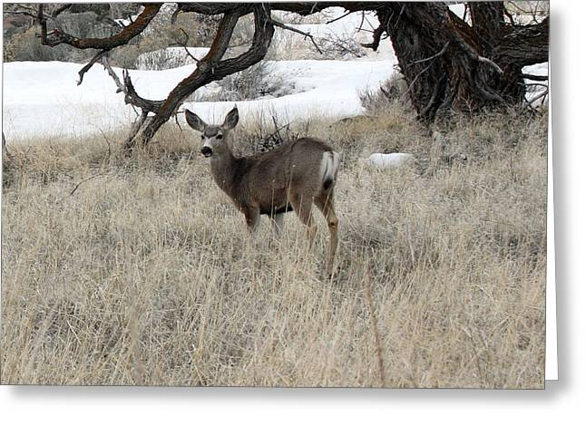 Grazing Snow Greeting Cards - Mule Deer - 0020 Greeting Card by S and S Photo