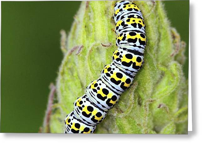 Mullein Moth Caterpillar Greeting Card by Colin Varndell