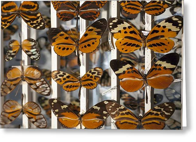 Bates Greeting Cards - Muller Butterfly Tiger Mimicry Complex 1 Greeting Card by Paul D Stewart
