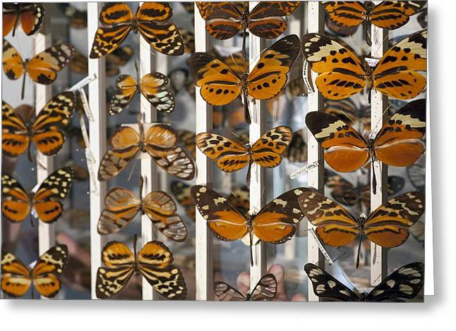 Bates Greeting Cards - Muller Butterfly Tiger Mimicry Complex 2 Greeting Card by Paul D Stewart