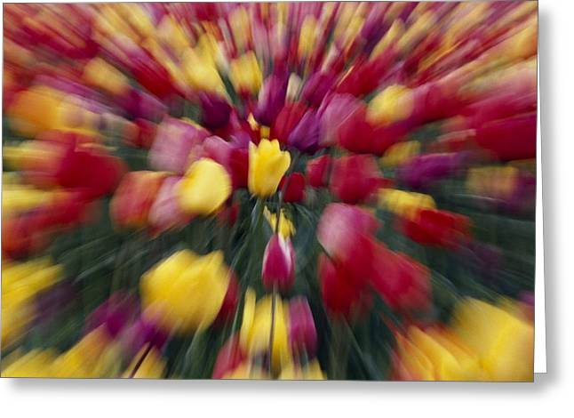 Woodburn Greeting Cards - Multi-colored Tulip Flowers, Zoom-effect Greeting Card by Natural Selection Craig Tuttle
