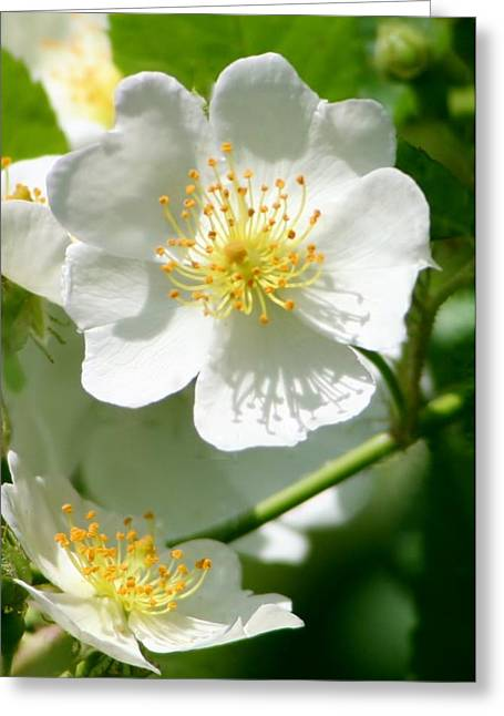 Multiflora Greeting Cards - Multiflora Rose Greeting Card by Barbara S Nickerson