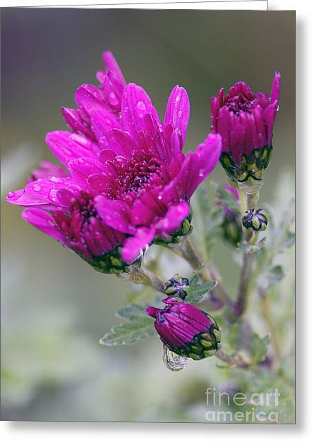 Pink Chrysanthemums Greeting Cards - Mum with Raindrops Greeting Card by Sharon  Talson