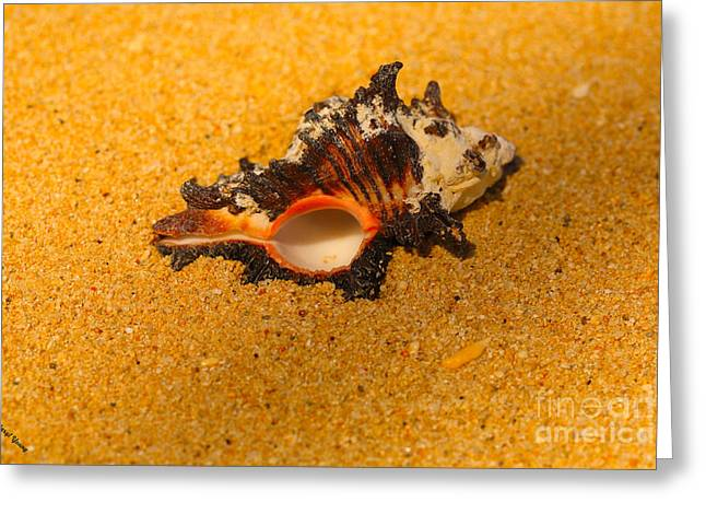 Murex Shell Greeting Card by Cheryl Young