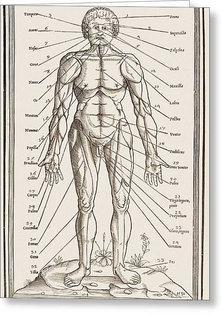 Historical Images Greeting Cards - Muscles And Bones Of The Body Greeting Card by Mehau Kulyk