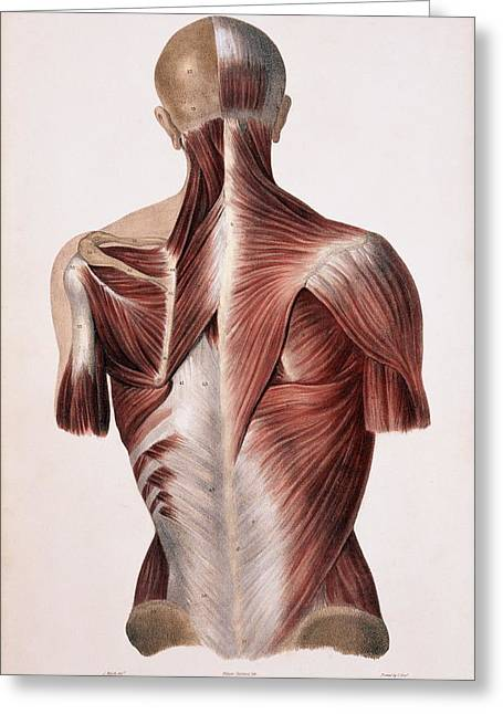 Historical Images Greeting Cards - Muscles Of The Back Greeting Card by Sheila Terry