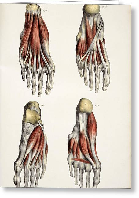 Historical Images Greeting Cards - Muscles Of The Foot Greeting Card by Sheila Terry