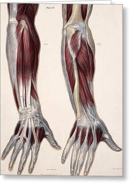 Historical Images Greeting Cards - Muscles Of The Hand And Forearm Greeting Card by Sheila Terry