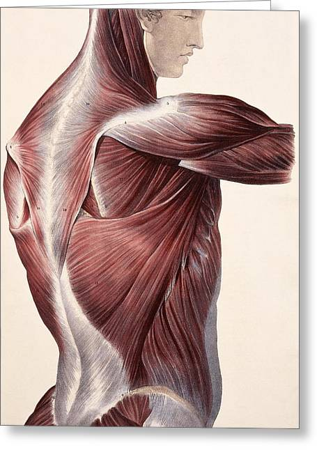 Historical Images Greeting Cards - Muscles Of The Side And Back Greeting Card by Sheila Terry