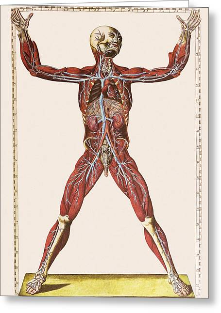 Historical Images Greeting Cards - Muscles, Organs And Blood Vessels Greeting Card by Mehau Kulyk