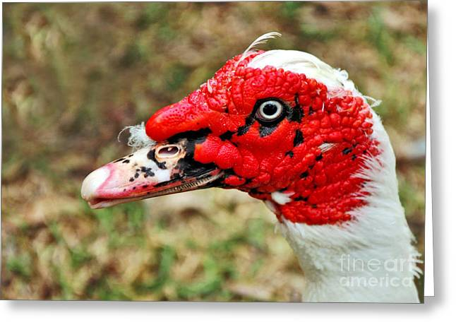 Muscovy Greeting Cards - Muscovy Duck 2 Greeting Card by Kaye Menner