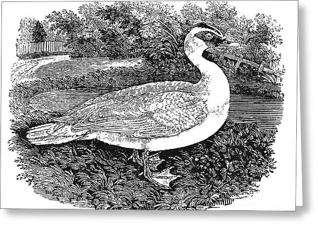 Muscovy Greeting Cards - Muscovy Duck Greeting Card by Granger