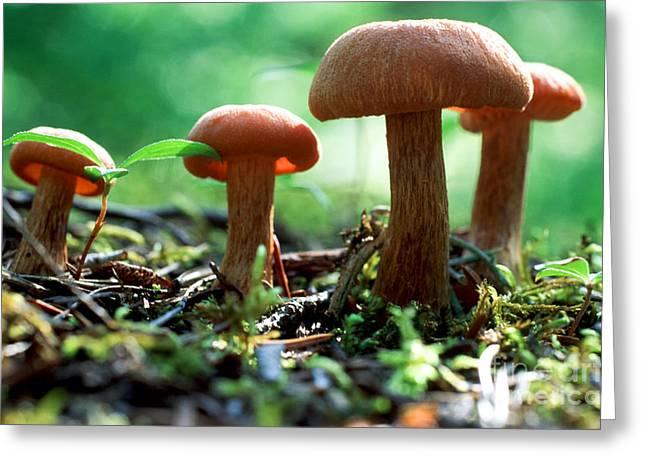 Mycology Greeting Cards - Mushroom 10 Greeting Card by Terry Elniski