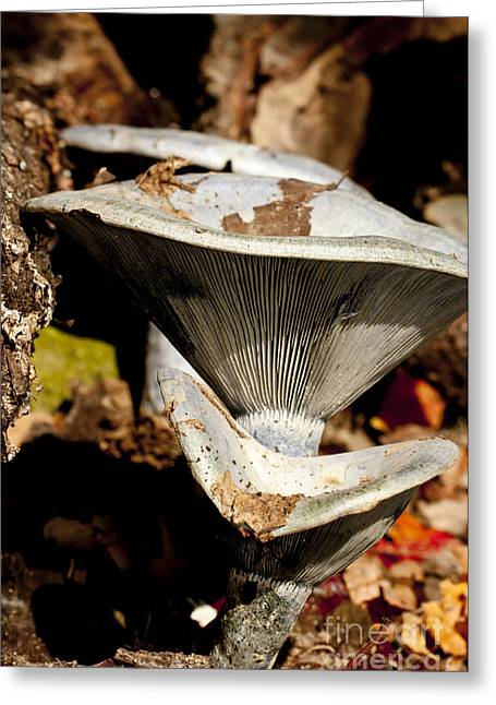 Blue Mushrooms Greeting Cards - Mushrooms in the Autumn Woods Greeting Card by Wilma  Birdwell