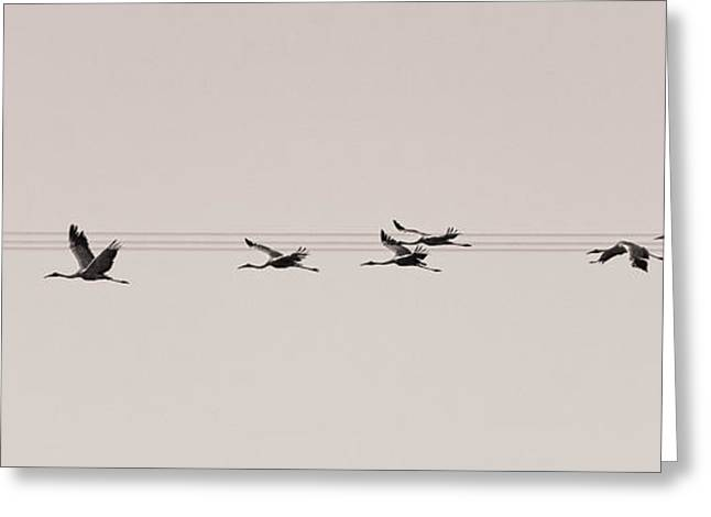 Large Scale Greeting Cards - Musical Brolga in Flight Greeting Card by Laurie Anne King