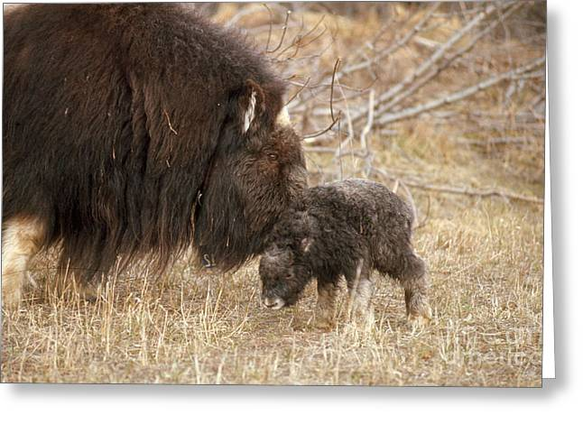 Musk Ox Cow And New Calf Greeting Card by Joseph Rychetnik