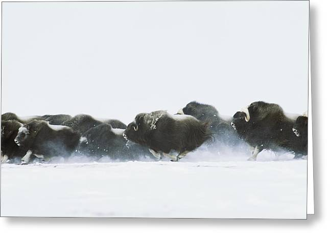 Nunavut Greeting Cards - Musk-oxen, Ovibos Moschatus, Flee Greeting Card by Norbert Rosing