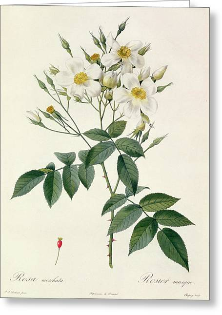 Horticulture Drawings Greeting Cards - Musk Rose Greeting Card by Pierre Joseph Redoute