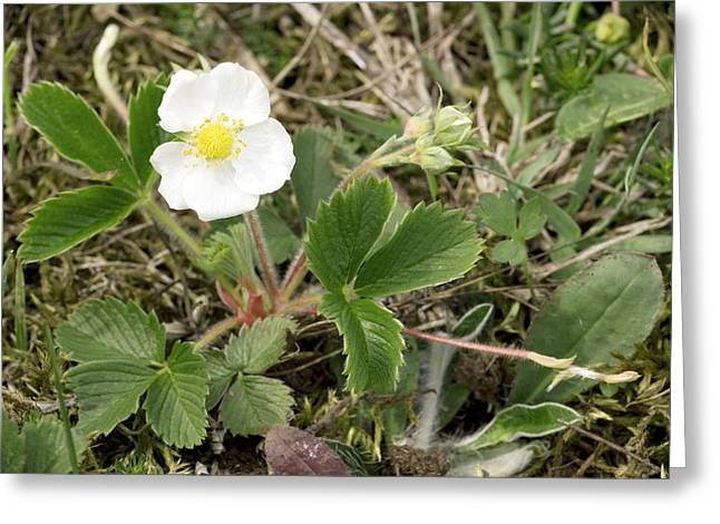 Musk Greeting Cards - Musk Strawberry (fragaria Moschata) Greeting Card by Bob Gibbons