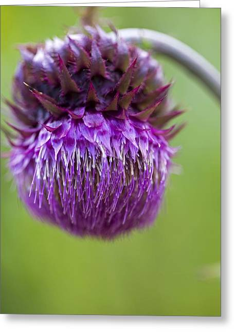 Musk Greeting Cards - Musk Thistle (carduus Nutans) Greeting Card by Dr Keith Wheeler