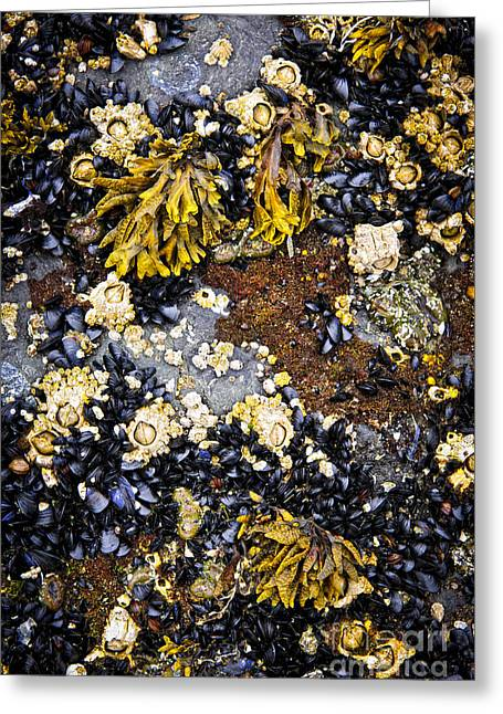 Saltwater Greeting Cards - Mussels and barnacles at low tide Greeting Card by Elena Elisseeva