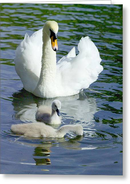 Muted Greeting Cards - Mute Swan And Cygnets Greeting Card by Georgette Douwma