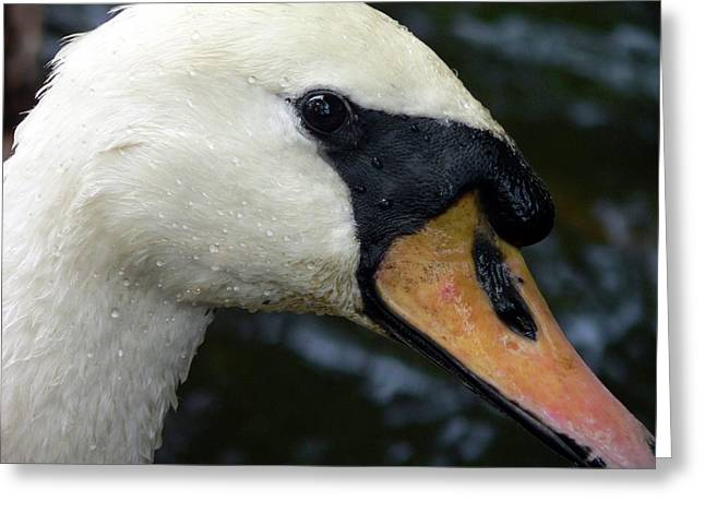 Water Fowl Greeting Cards - Mute Swan Close-up Greeting Card by Al Powell Photography USA