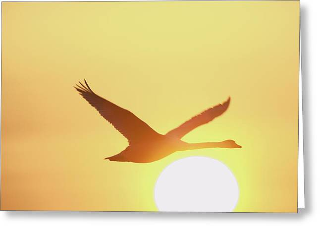 Flying Mute Swan Greeting Cards - Mute Swan Greeting Card by Duncan Shaw