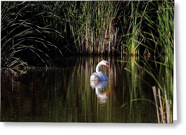 Jim Nelson Greeting Cards - Mute Swan Greeting Card by Jim Nelson