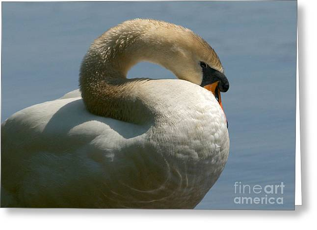 Muted Greeting Cards - Mute Swan Greeting Card by Sharon  Talson