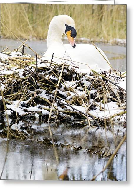 Winter Migrants Greeting Cards - Mute Swan Sitting On A Nest In The Snow Greeting Card by Duncan Shaw