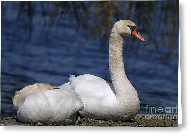 Orange Beak Greeting Cards - Mute Swans by Lagoon Greeting Card by Sharon  Talson