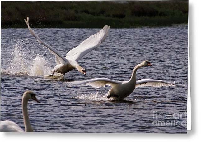 Flying Mute Swan Greeting Cards - Mute Swans Greeting Card by Wedigo Ferchland