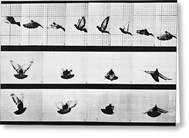 Study Of Birds Greeting Cards - Muybridge Locomotion, Pigeon In Flight Greeting Card by Photo Researchers