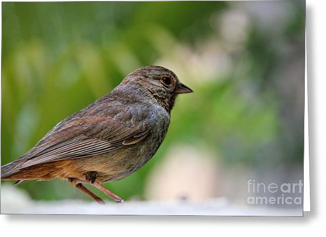 Brown Towhee Greeting Cards - My Little Friend Greeting Card by Mariola Bitner