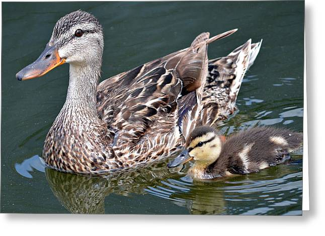 Baby Mallards Greeting Cards - My Little Shadow Greeting Card by Fraida Gutovich
