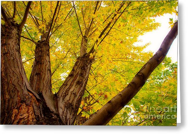 Striking Images Greeting Cards - My Maple Tree Greeting Card by James BO  Insogna
