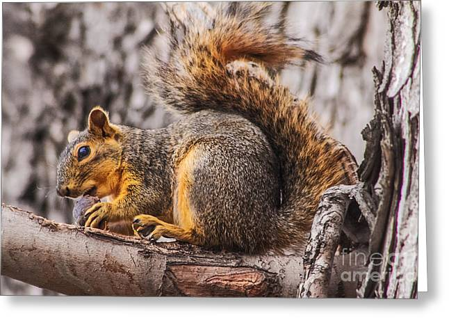 Fox Squirrel Greeting Cards - My Nut Greeting Card by Robert Bales