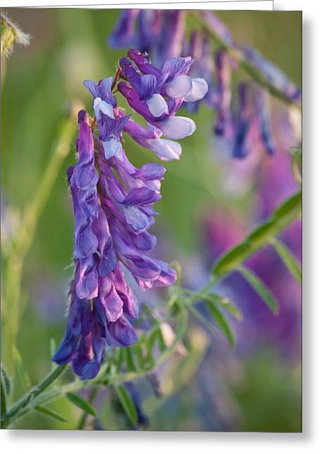 Vetch Greeting Cards - My Sweet Sweet Pea Greeting Card by Michael Peychich