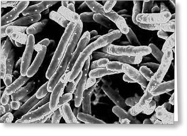 Mycobacterium Tuberculosis Bacteria, Sem Greeting Card by Science Source