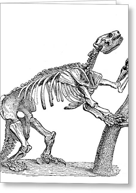 Sloth Greeting Cards - Mylodon, Cenozoic Mammal Greeting Card by Science Source