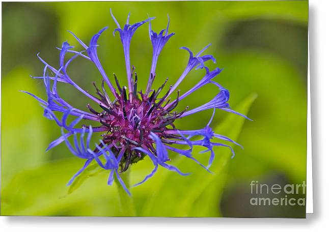 Centaurea Montana Greeting Cards - Mystery Wildflower 3 Greeting Card by Sean Griffin