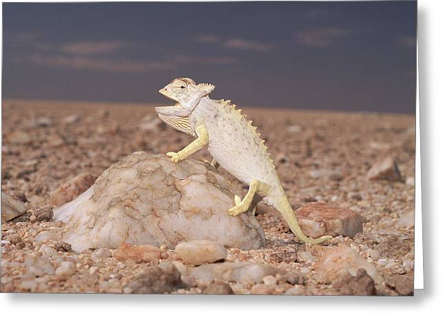 Namaqua Chameleon Chamaeleo Namaquensis Greeting Card by Michael & Patricia Fogden