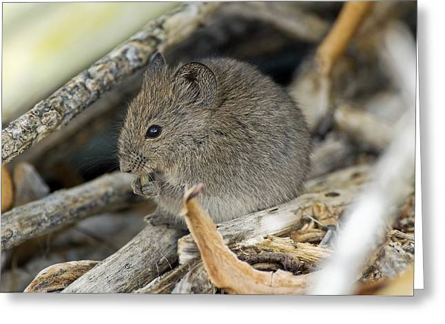 Gnawing Greeting Cards - Namaqua Rock Mouse Greeting Card by Peter Chadwick