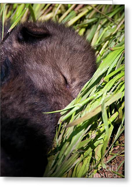 Nap Time Greeting Card by Michael Cummings