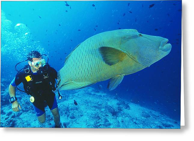 Nature Study Greeting Cards - Napoleon Wrasse And Diver Greeting Card by Matthew Oldfield