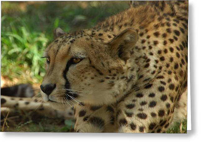 Cheetah Photographs Greeting Cards - Naptime Is Over Greeting Card by Donna Blackhall