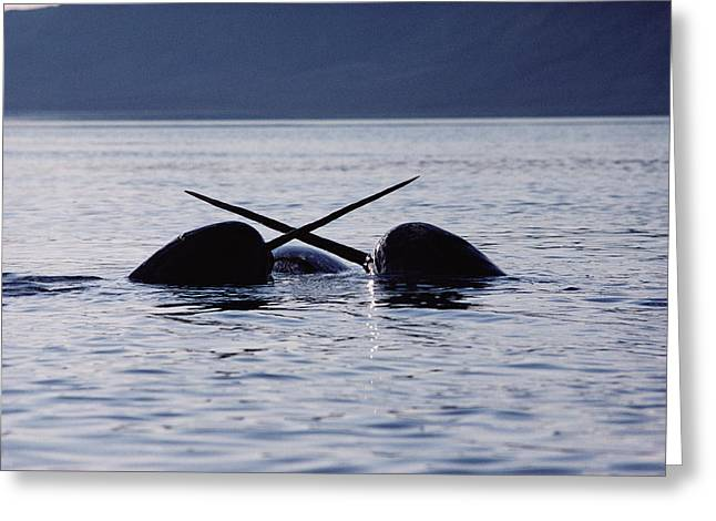 Narwhal Greeting Cards - Narwhal Males Sparring Baffin Island Greeting Card by Flip Nicklin