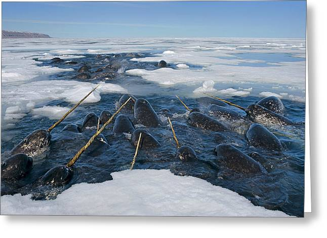 Narwhal Greeting Cards - Narwhals Are Resting In A Hole Greeting Card by Paul Nicklen